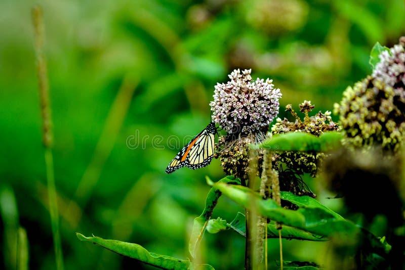 Motyli znalezienia pollen zdjęcie royalty free