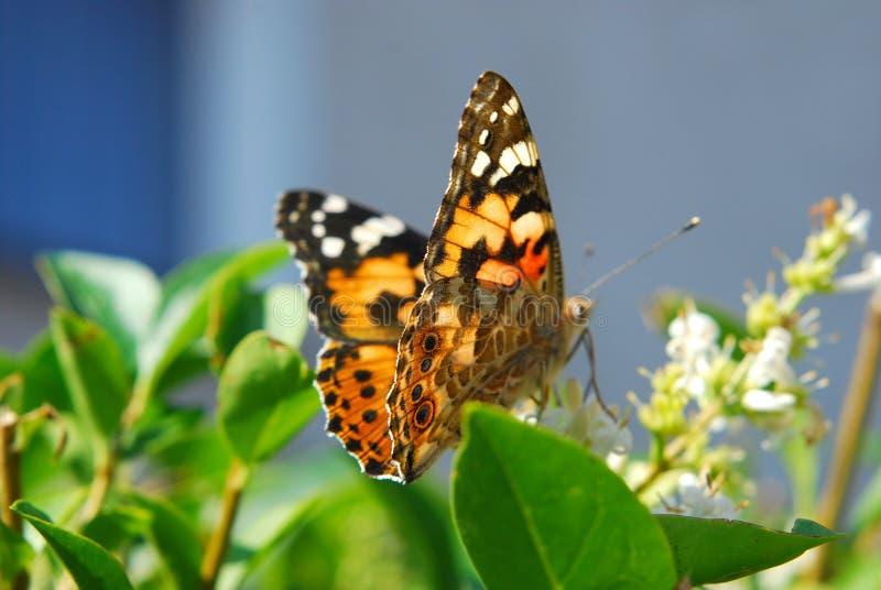 Download Motylia Cardui Dama Malujący Vanessa Obraz Stock - Obraz złożonej z malujący, aromaty: 13342263