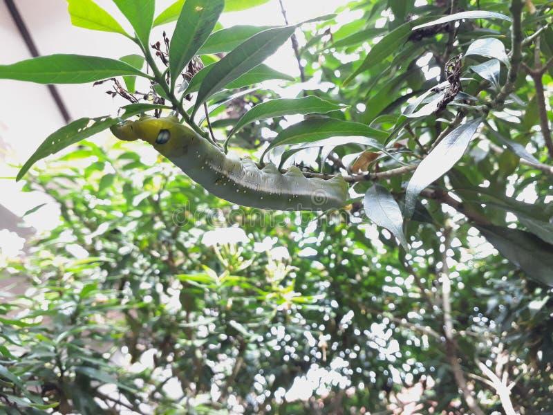 Motylia gąsienica je zielonych liście fotografia stock