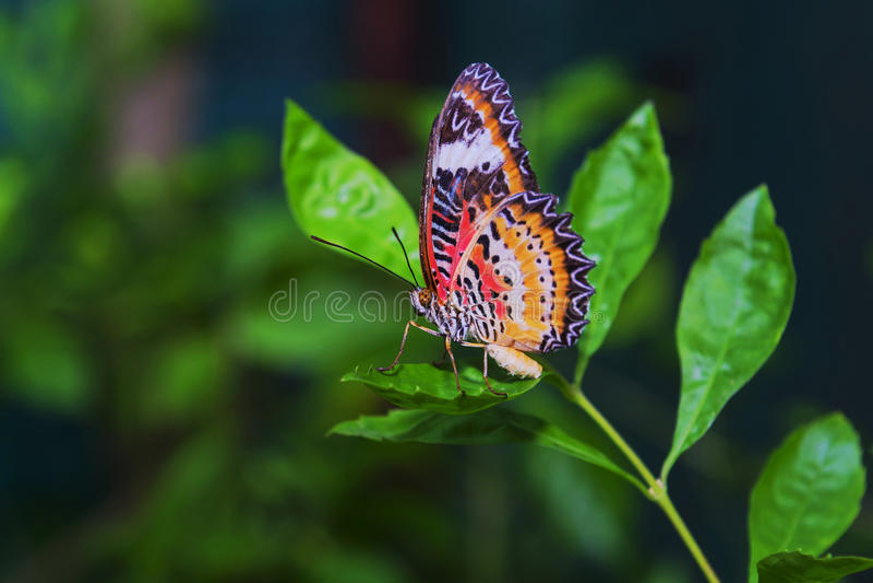 Motylia komarnica obraz royalty free
