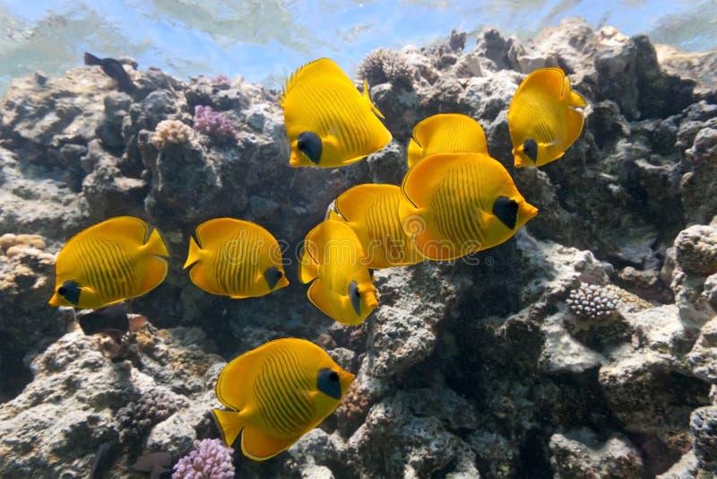 motylia korala ryba rafa zdjęcia stock