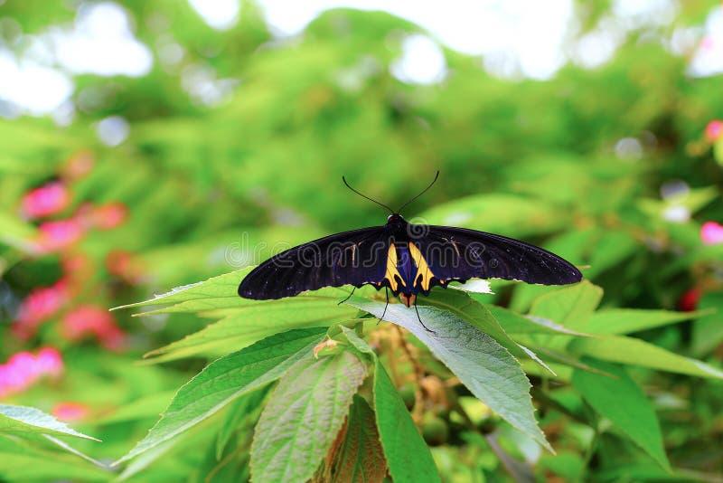 Motylia lasowego drzewa ogródu komarnica obraz royalty free