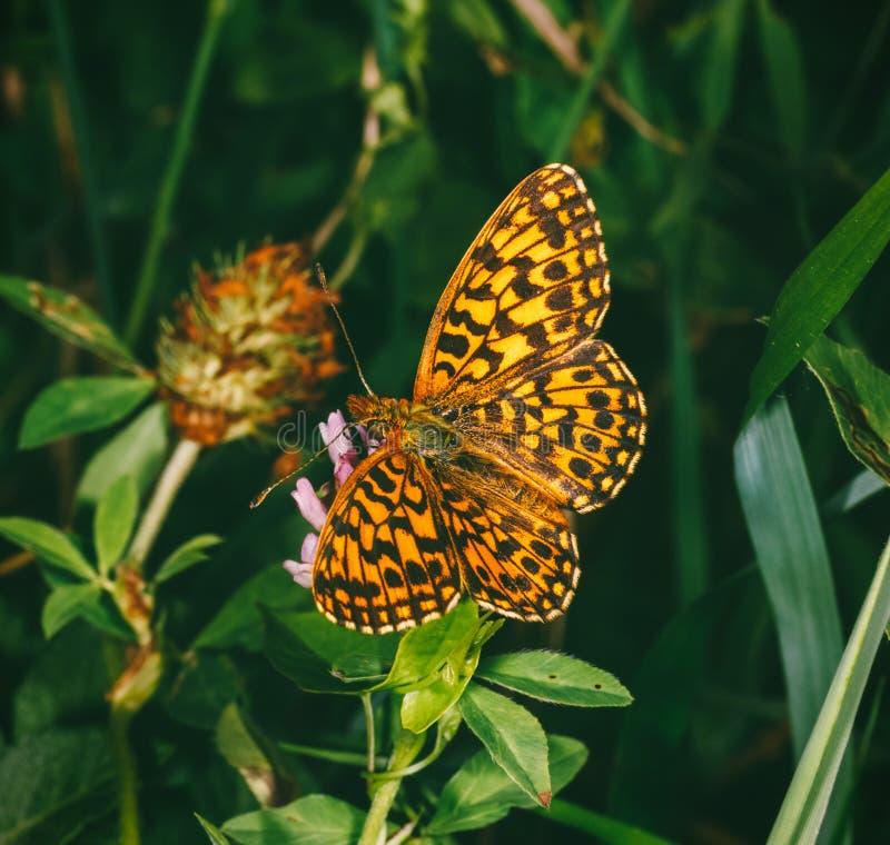 Motylia matka perły Argynnis paphia na koniczynowym kwiacie obrazy stock