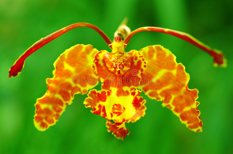 motylia orchidea obraz stock