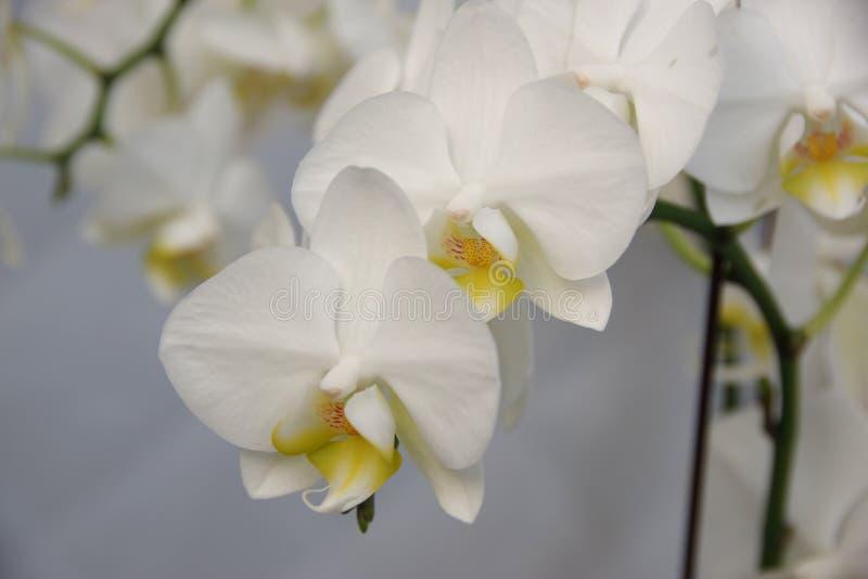 Motylia orchidea zdjęcie royalty free