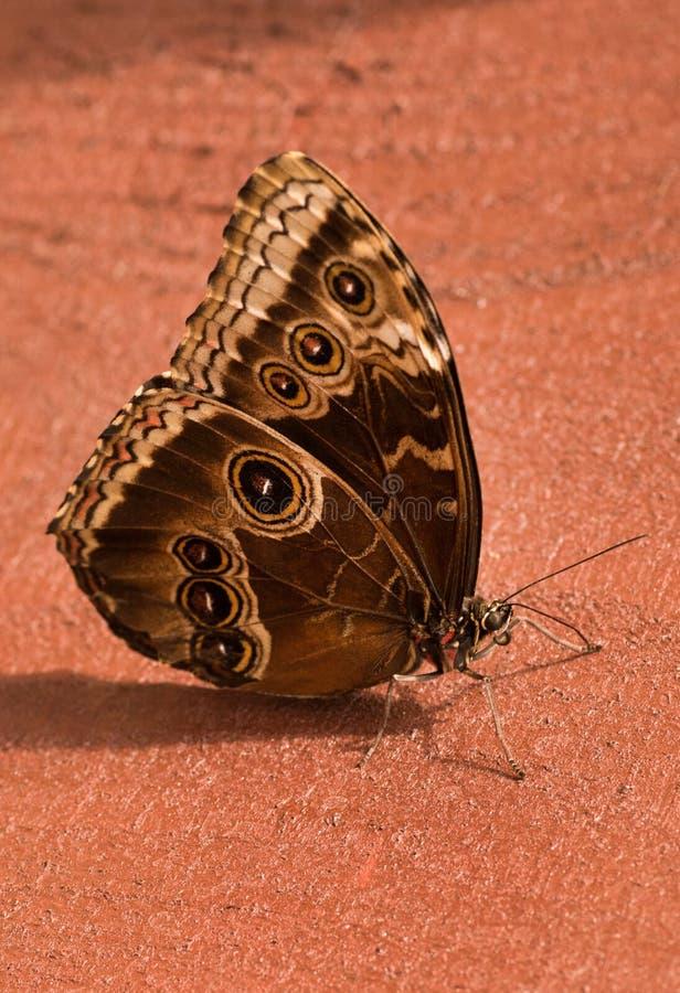 Motylia sowa Caligo H? ? bner obraz stock