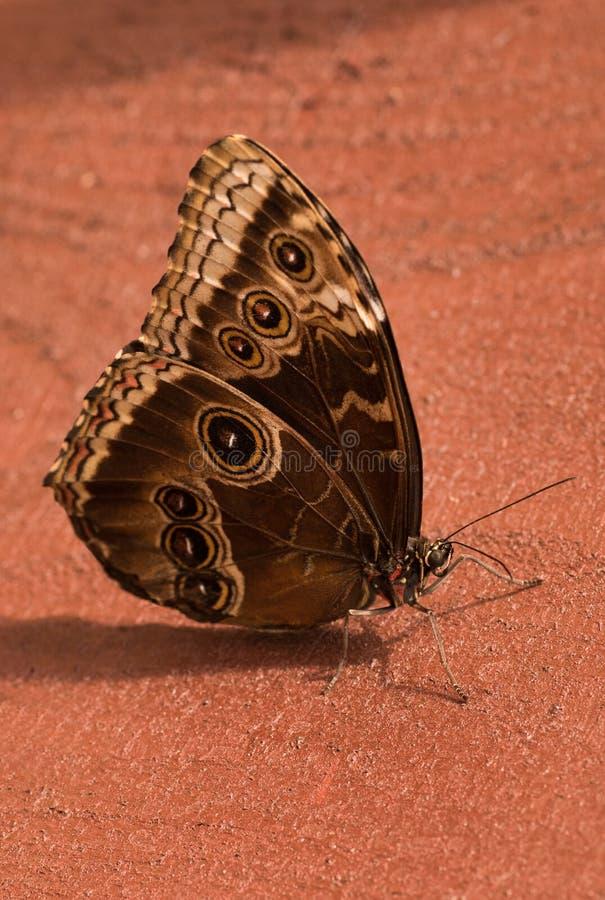 Motylia sowa Caligo H? ? bner obraz royalty free