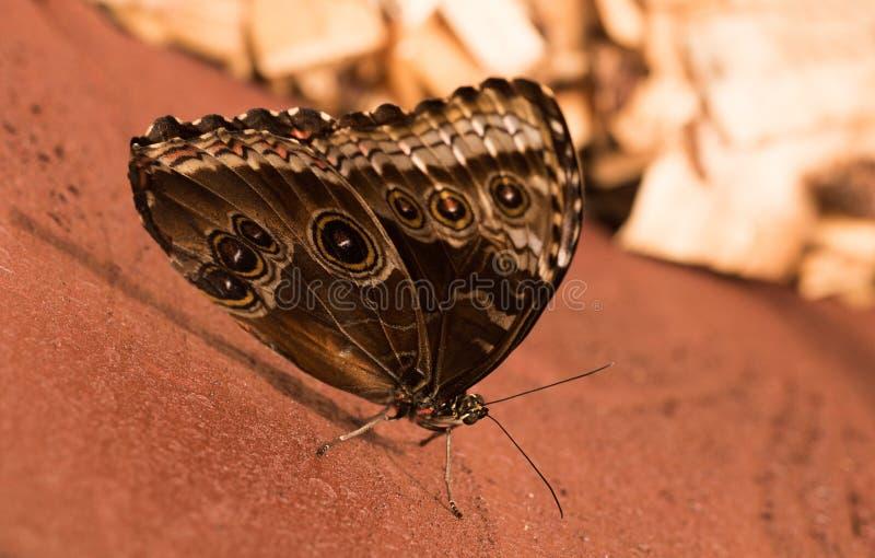 Motylia sowa Caligo H? ? bner zdjęcie stock