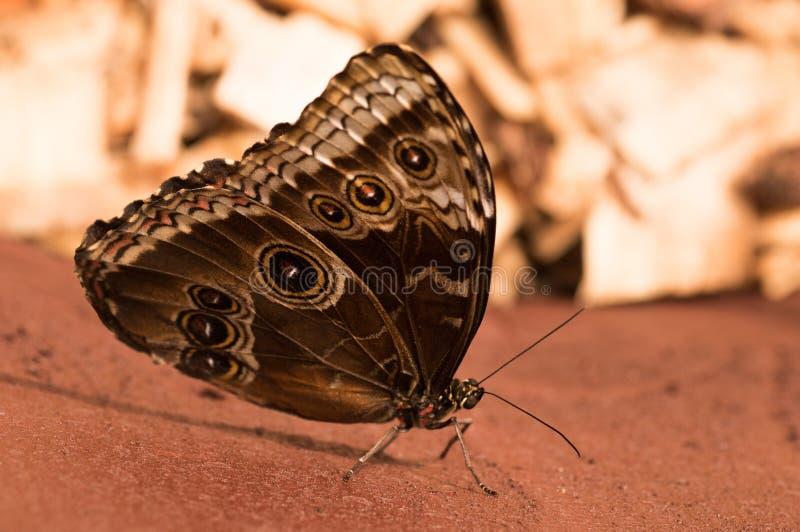 Motylia sowa Caligo H? ? bner fotografia stock