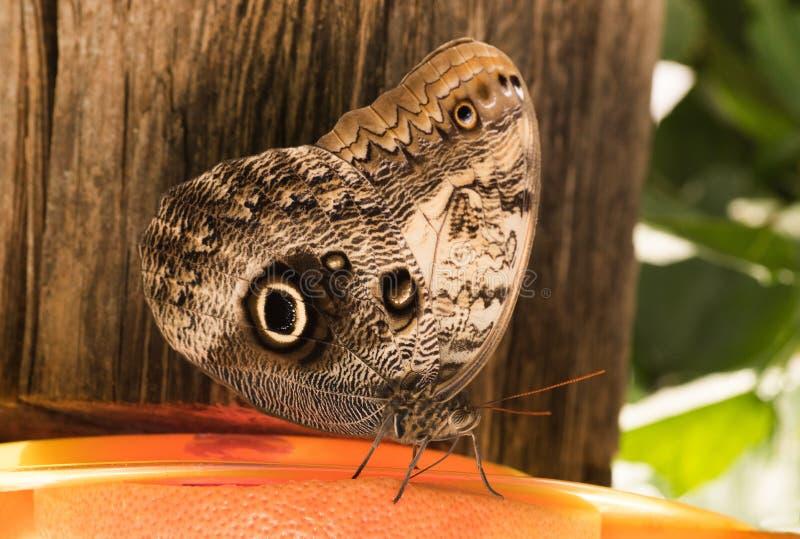 Motylia sowa Caligo H? ? bner zdjęcia stock
