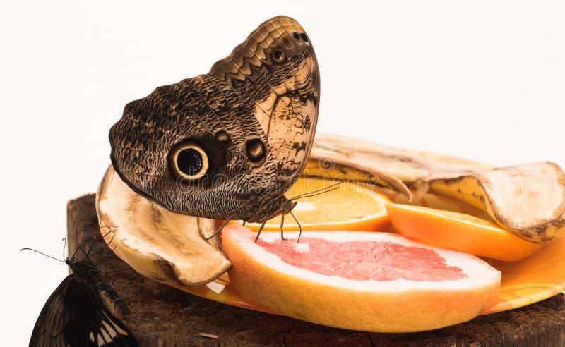 Motylia sowa Caligo H? ? bner zdjęcie royalty free