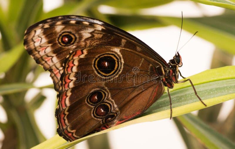 Motylia sowa Caligo H? ? bner obrazy royalty free