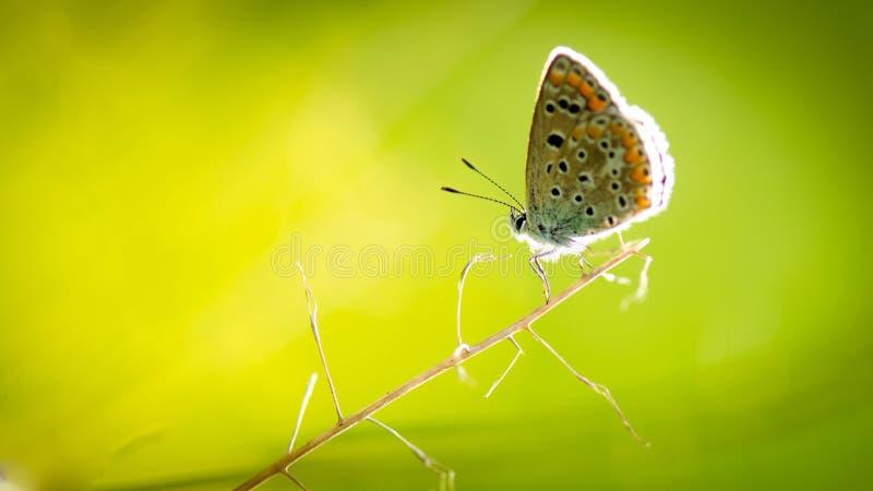 Motylia tapeta obraz royalty free
