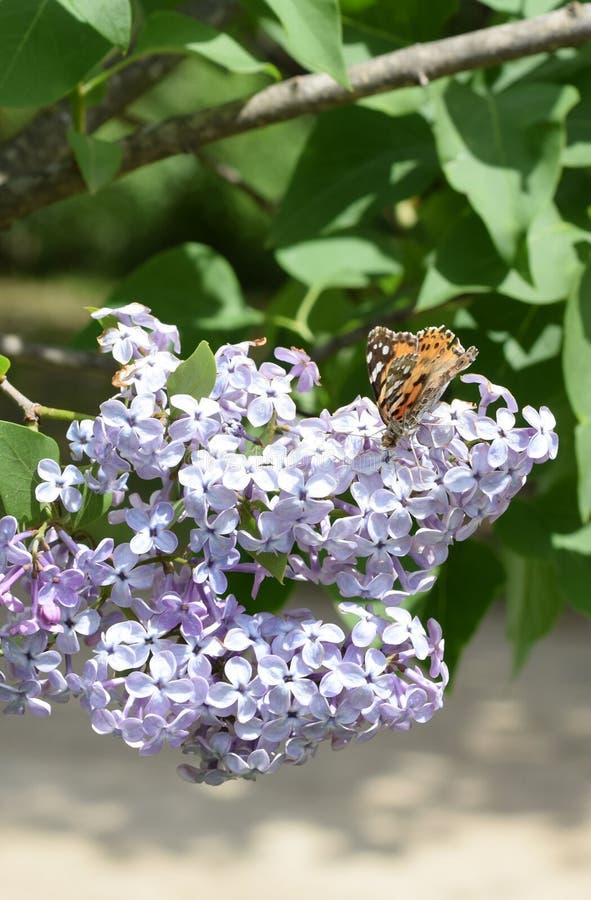 Motylia wysypka na lilych kolorach Motyli urticaria obrazy royalty free
