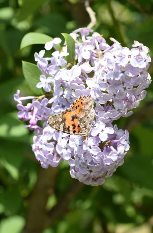Motylia wysypka na lilych kolorach Motyli urticaria fotografia royalty free