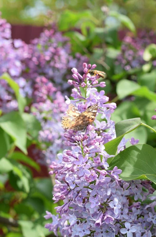 Motylia wysypka na lilych kolorach Motyli urticaria obraz stock
