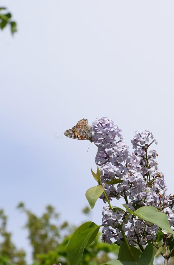 Motylia wysypka na lilych kolorach Motyli urticaria zdjęcia stock
