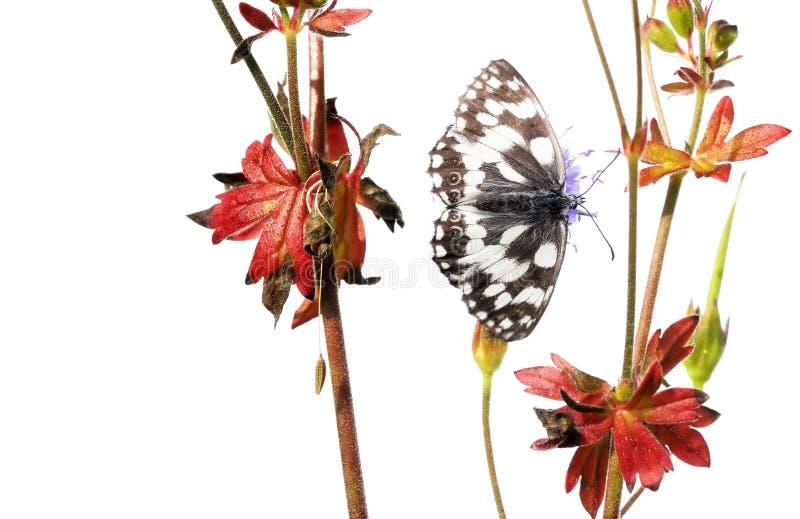 motylie flory obrazy royalty free