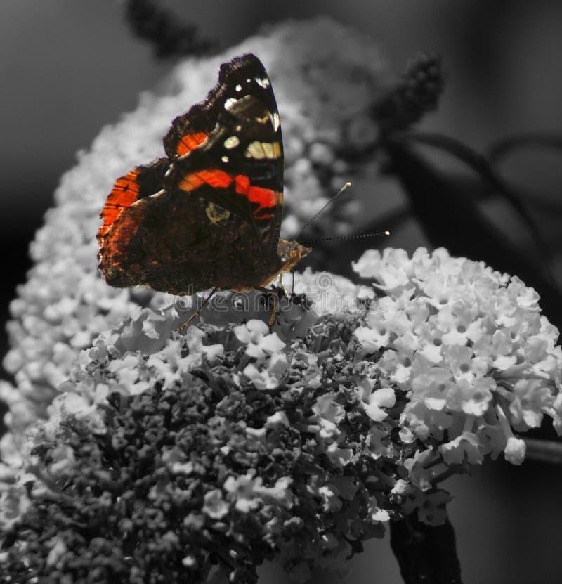 Motyliego atalantha tylny ogród obraz stock