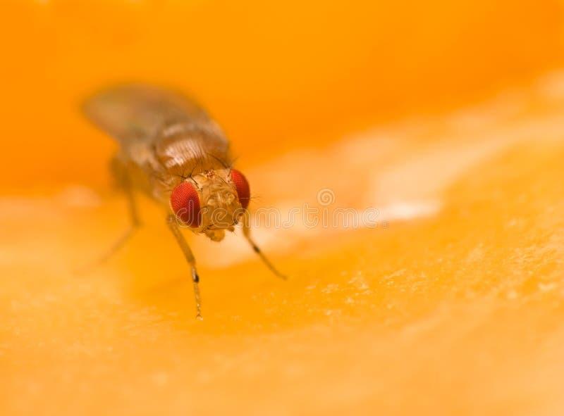 Mouche à fruit minuscule se reposant sur une pomme image stock