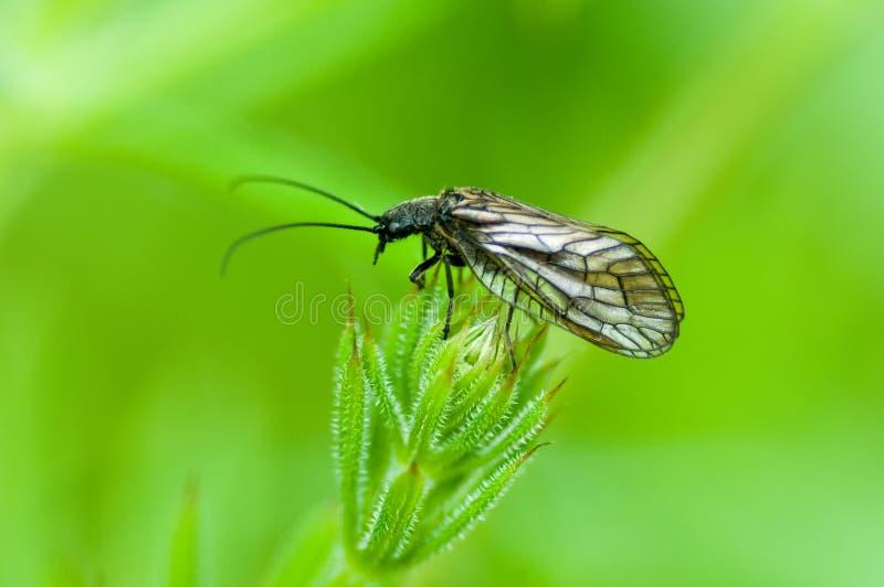 Mouche d'aulne de portrait d'insecte image libre de droits