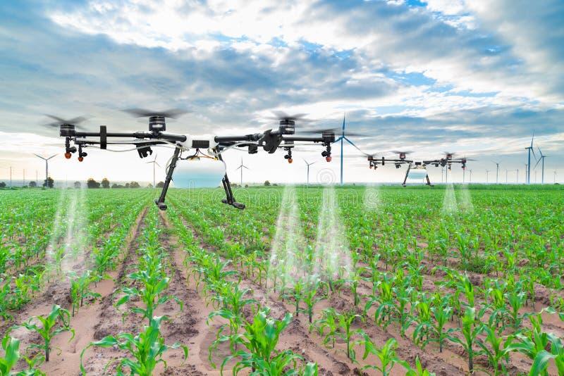 Mouche de bourdon d'agriculture à l'engrais pulvérisé sur les champs de maïs photo stock