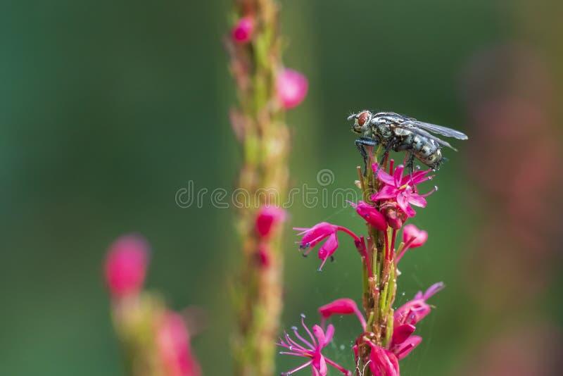 Mouche de chair Sarcophagidae pollinisant sur les fleurs roses photographie stock