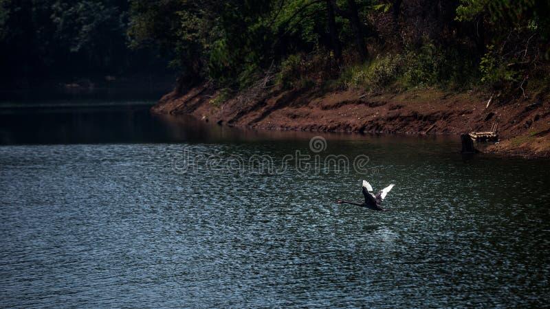 Mouche de cygne noir au-dessus de grand lac avec l'éclat de lumière d'étoile sur la surface de l'eau images libres de droits