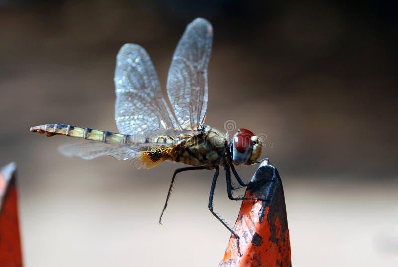 mouche de dragon photo libre de droits