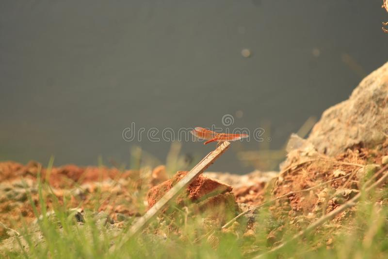Mouche de dragon se reposant dans un endroit sûr photographie stock