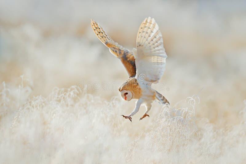 Mouche de hibou avec les ailes ouvertes Hibou de grange, Tyto alba, volant au-dessus de l'herbe blanche de givre pendant le matin photographie stock