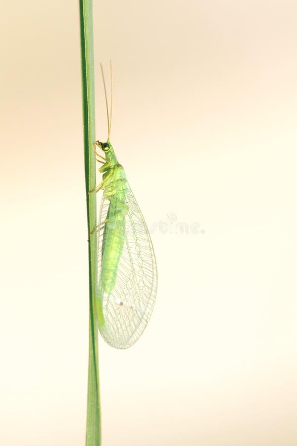 Mouche de Lacewing image stock