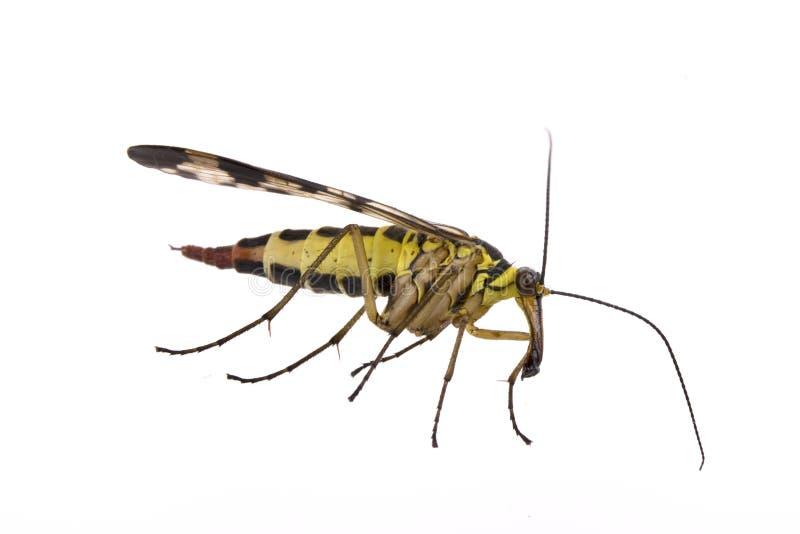 Download Mouche De Scorpion Sur Le Fond Blanc Image stock - Image du jaune, oeil: 56487607