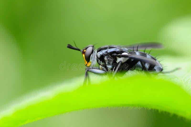 Mouche de Tachinidae Lutte biologique contre les parasites photos libres de droits