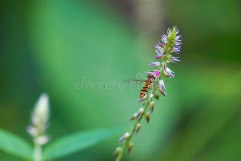 Mouche de vol plané en vol vers la cosse de fleur image stock