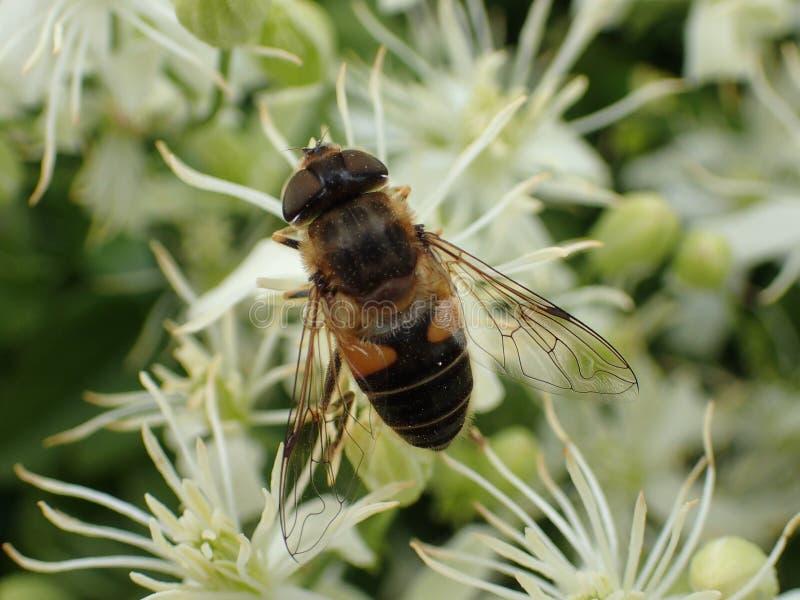Mouche de vol plané sur les fleurs blanches de Flammula de clématite photos stock