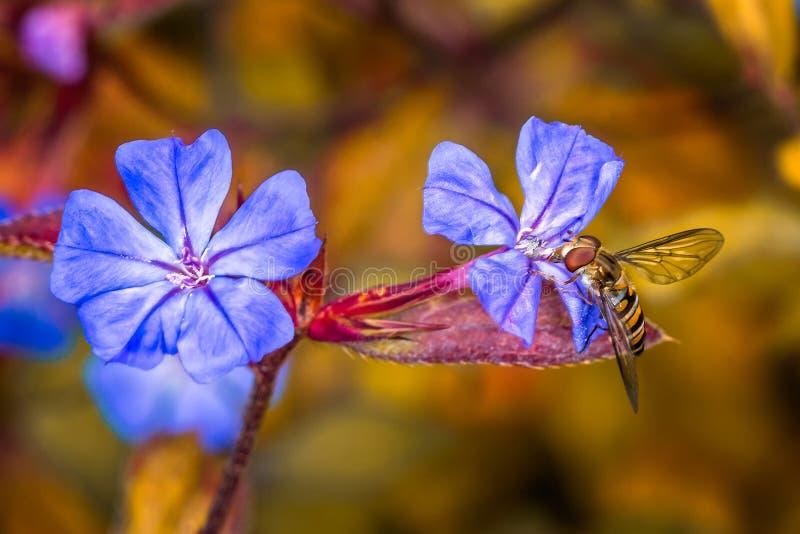 Mouche de vol plané sur les pétales pourpres de fleur image libre de droits