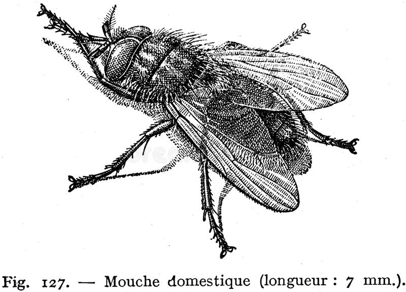 Download Mouche domestique stock image. Image of  - 83039013
