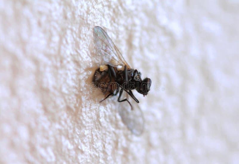 Mouche domestique morte sur le mur photographie stock