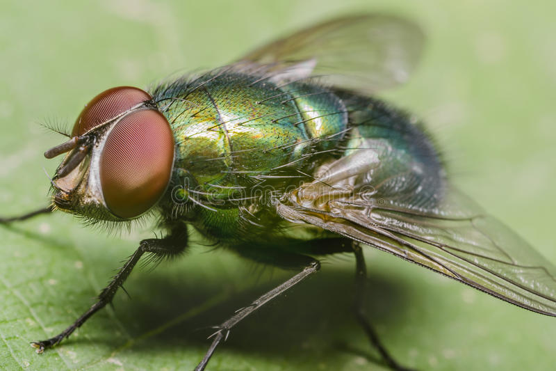 Mouche domestique verte image stock image du couleurs 24724733 - Invasion de mouches vertes ...