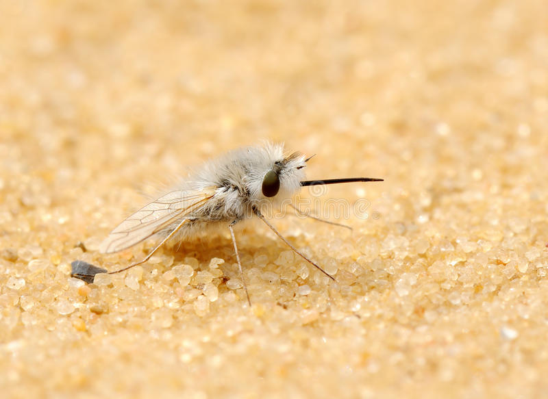 [Bombyliidae] qu'est ce que c'est que cette mouche? Mouche-duveteuse-14374682