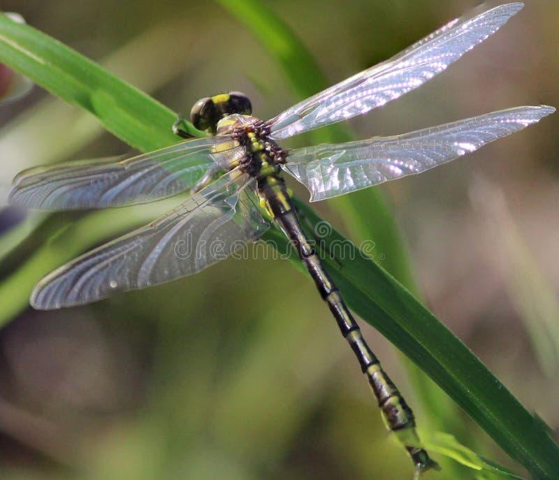 Mouche jaune de dragon sur l'herbe images stock