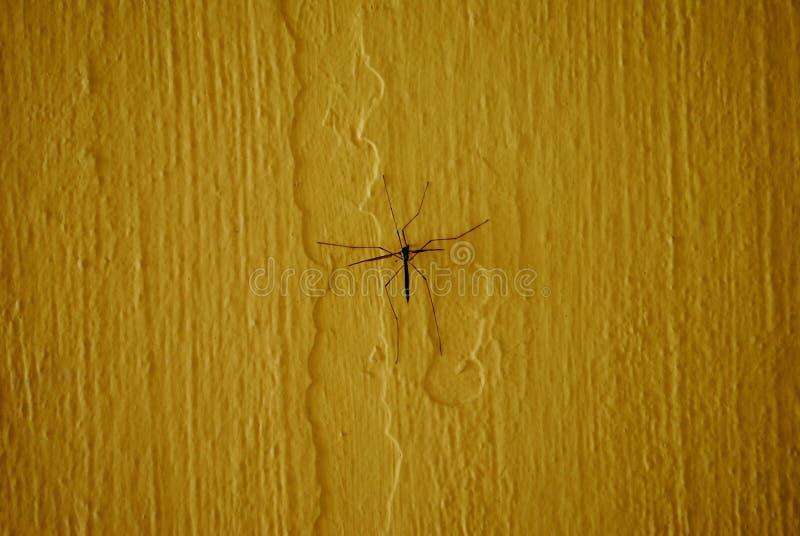 Mouche ou faucheur de grue sur le fond jaune photo libre de droits