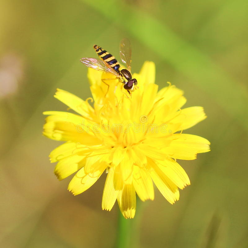 Mouche rayée jaune photos libres de droits