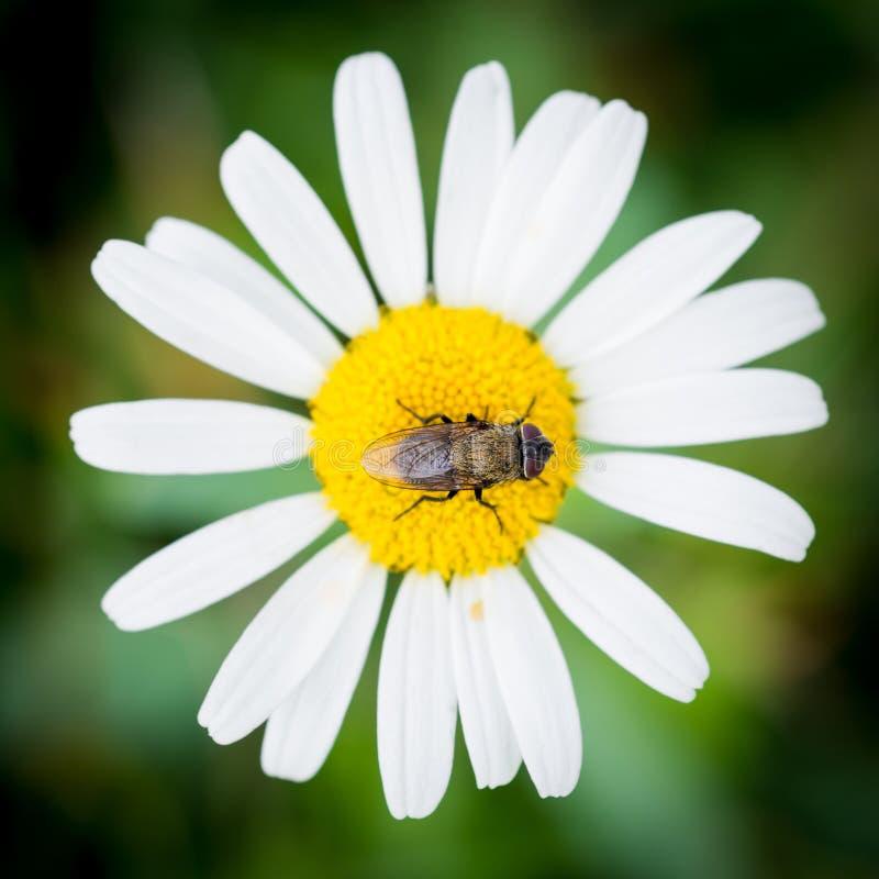 Mouche sur la fleur images libres de droits