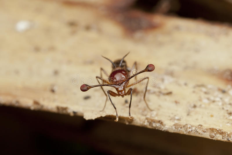 Mouche Tige-eyed malaisienne photographie stock