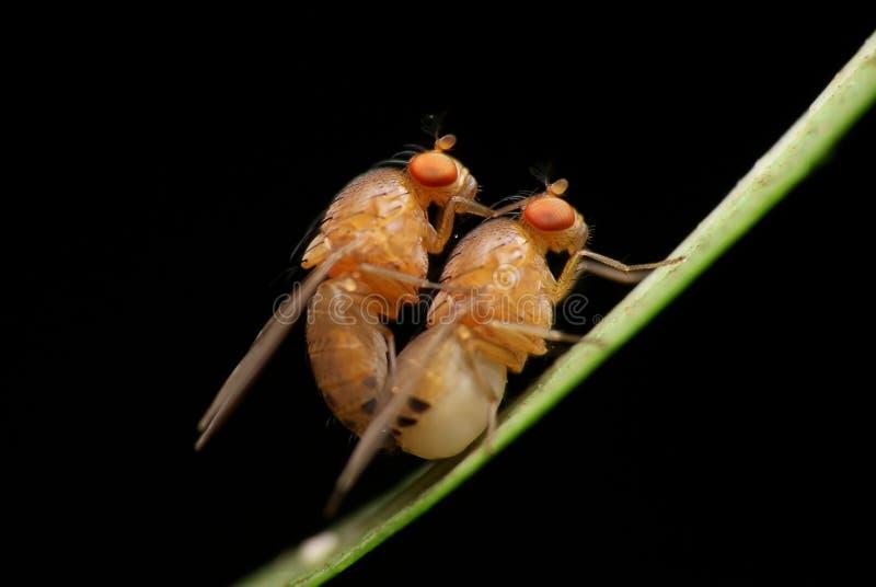 Mouches à fruit de accouplement photo stock