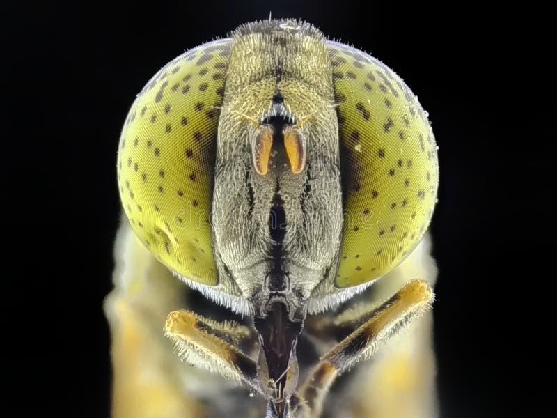 Mouches indigènes de mouche/vol plané de bourdon images libres de droits