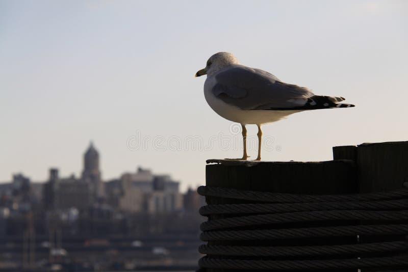 Mouette à New York image libre de droits