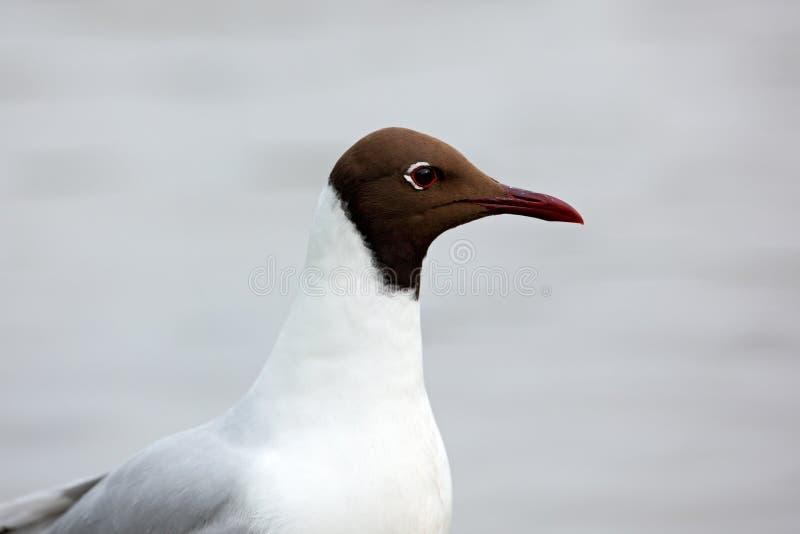 Mouette à tête noire, ridibundus de Chroicocephalus, portrait de détail de l'oiseau blanc avec la tête noire, Finlande photo stock